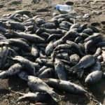 Sahile çok sayıda ölü balık vurdu