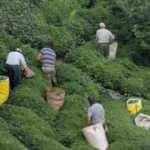 ÇAYKUR, yaş çay budama bedellerini üretici hesaplarına aktardı