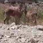 Elazığ'da dağ keçileri mahalleye indi