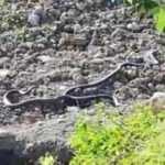 Hakkari'de 2 metreyi geçen yılanlar böyle görüntülendi!
