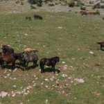 Spil Dağı'nın özgür sahipleri! Yılkı atları...