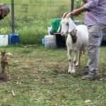 Yavru karaca, kendisini emziren keçiyi anne olarak benimsedi