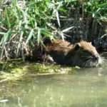Çiftliklerden kaçan su maymunları doğal yaşama uyum sağladı