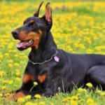 Rüyada siyah köpek görmek nasıl tabir edilir? Rüyada siyah köpek görmek hayırlı mıdır?