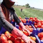 Çanakkale'de domates hasadı başladı