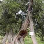 Köydeki 904 yıllık ardıç ağaçları zamana meydan okuyor