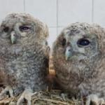 Tunceli'de 2 yavru alaca baykuş doğal ortamına bırakıldı
