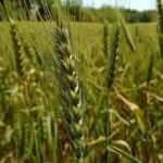 Yüksek verime sahip yerli ve milli ekmeklik buğday tohumu çeşidi ''Kirve'' tescil edildi