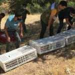1000 kınalı keklik doğaya bırakıldı