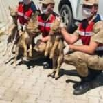 Muş'ta 3 yavru kurt, doğaya bırakıldı