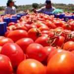 Çanakkale domatesinde hasat zamanı