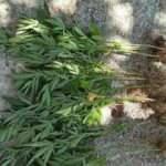 Bamya ekili bahçede Hint keneviri yakalandı