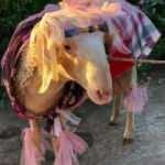 Buldan'da 'gelin koçu' geleneği unutulmadı