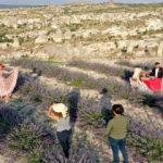 Kapadokya'nın peribacaları manzarasını tamamlayan lavanta bahçeleri