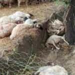 Sürüye yıldırım isabet etti: 40 koyun telef oldu