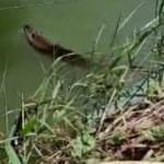 Tekirdağ'da görülen su samuru şaşırttı