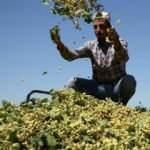 Baklavanın baş tacı fıstıkta hasat serüveni başladı