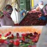 Hollandalılar Kulaca salçasından vazgeçmiyor