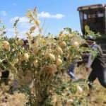 Talas'ta 200 dekar alana ekilen nohudun hasadı yapıldı