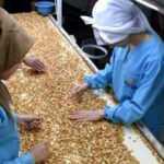 Kayısı çekirdeğinden yıllık 20 milyon dolar gelir