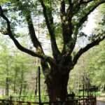 Atatürk'ün gölgesinde ayran içtiği 400 yıllık meşe ağacı koruma altında