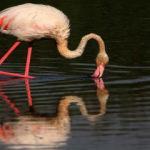 Van Gölü'nde flamingolardan görsel şölen