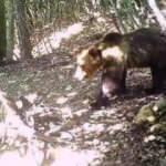 Temmuzda kafesinden kaçan ayı yakalandı