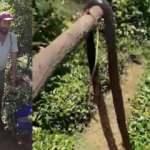 Çay bahçesinde yılan paniği! Sopayla öldürdüler