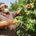 Hediye fidanla başladı,Türkiye'nin dört bir yanına guava satıyor