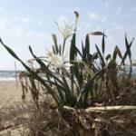 Pamucak sahilinde yetişen kum zambakları