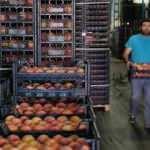 Doğu Karadeniz'den Rusya'ya şeftali ihracatı yüzde 60 arttı