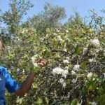 Elma ağacı, ekimde çiçek açtı!