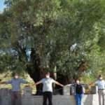 Manisa'da 1658 yıllık zeytin ağacı meyve verdi