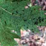 Dantel böceği tehlikesi: Tüm ormanı sardı
