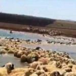 Yüksek ateş çıkan koyunlarını böyle kurtardı!