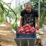 Tanesi 30 TL! Bursa'da ejder meyvesi için üretim üssü olabilir