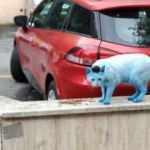Küçükçekmece'nin mavi kedileri!