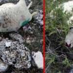 Kurt sürüsü köye girdi: 45 koyun telef oldu