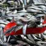Talebe yetişemeyen İzmirli balıkçılar vites yükseltti