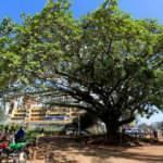 Kenya'da 100 yıllık ağaç için kararname çıkarıldı