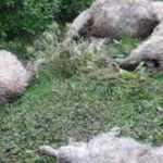 Kurtlar saldırdı koyunlar telef oldu