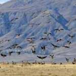 Van'ın Erçek Gölü göçmen kuşlarla şenlendi
