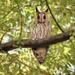 Kulaklı orman baykuşları, köyün ekolojik dengesini sağlıyor