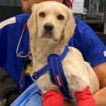 Bacakları kesilmiş bulunan Pamuk protezle yürüyecek