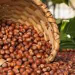 Giresun'da fındık fiyatı şubat ayına 22,50 liradan başladı