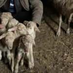 Çanakkale'de bir koyun tek seferde 5 kuzu doğurdu