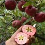İçi dışı kırmızı elmaya talep patladı, yurt dışından bile sipariş yağıyor