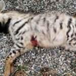 Çizgili Anadolu sırtlanı, silahla vurularak öldürüldü