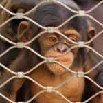NASA bir günde 27 maymunu öldürdü