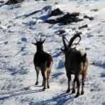 Sürü halinde dağ keçileri görüntülendi